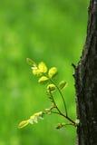 Fogli dell'albero in primavera Fotografie Stock Libere da Diritti