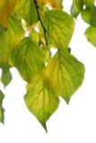 Fogli dell'albicocca in autunno Immagini Stock