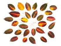 Fogli dell'albicocca di autunno Fotografia Stock