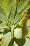 Fogli dell'aloe con le spine arancioni Fotografia Stock