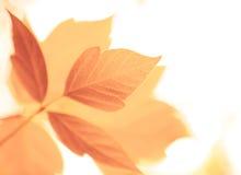 Fogli dell'arancio di autunno immagini stock