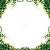 Fogli dell'edera isolati Fotografia Stock