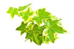 Fogli dell'edera isolati su bianco Immagini Stock