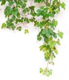 Fogli dell'edera sulla parete Immagini Stock Libere da Diritti