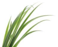 Fogli dell'erba verde Fotografia Stock Libera da Diritti