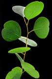 Fogli dell'eucalyptus Fotografia Stock Libera da Diritti