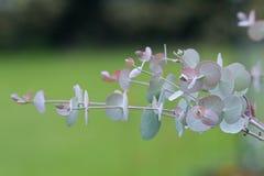 Fogli dell'eucalyptus Fotografia Stock