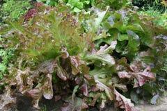 Fogli dell'insalata in giardino Fotografia Stock Libera da Diritti