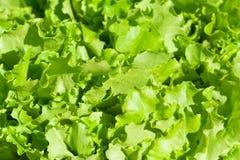 Fogli dell'insalata verde Immagine Stock