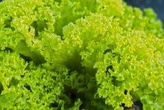 Fogli dell'insalata verde Immagini Stock