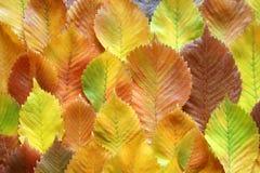 Fogli dell'olmo di autunno Fotografie Stock