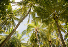 fogli dell'Palma-albero Fotografia Stock
