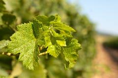 Fogli dell'uva Immagini Stock Libere da Diritti