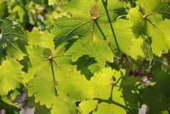 Fogli dell'uva Immagine Stock
