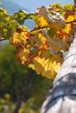 Fogli dell'uva in autunno Immagini Stock
