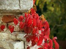 Fogli dell'uva rossa Parete bianca Fotografia Stock