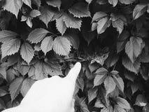 Fogli dell'uva selvaggia Fotografia Stock Libera da Diritti