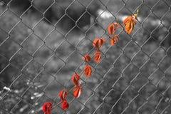 Fogli dell'uva sulla rete metallica Fotografia Stock Libera da Diritti
