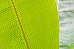 Fogli della banana Immagine Stock