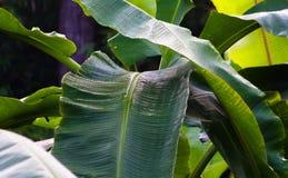 Fogli della banana Immagini Stock Libere da Diritti