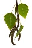 Fogli della betulla Immagini Stock