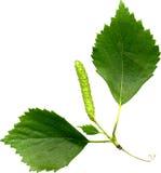 Fogli della betulla Fotografia Stock