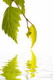 Fogli della betulla che riflettono in acqua Immagine Stock Libera da Diritti