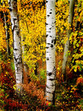 Fogli della betulla dell'Aspen di caduta Fotografia Stock