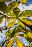 Fogli della castagna di autunno Fotografie Stock Libere da Diritti