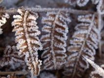 Fogli della felce in neve Fotografia Stock