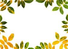 Fogli della noce di autunno Immagini Stock