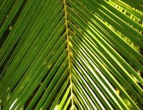 Fogli della noce di cocco Fotografia Stock