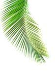 Fogli della palma immagine stock