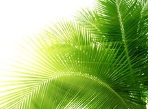 Fogli della palma Fotografia Stock
