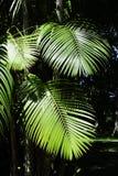 Fogli della palma di acai fotografie stock libere da diritti
