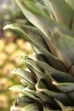 Fogli della parte superiore dell'ananas Fotografia Stock Libera da Diritti