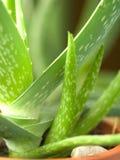 Fogli della pianta dell'aloe Immagine Stock