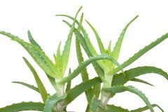 Fogli della pianta della Vera dell'aloe Fotografia Stock Libera da Diritti