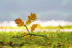 Fogli della quercia Immagini Stock