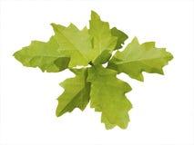 Fogli della quercia immagine stock