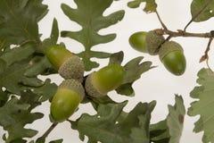 Fogli della quercia delle ghiande fotografia stock libera da diritti