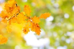 Fogli della quercia di autunno Immagini Stock Libere da Diritti