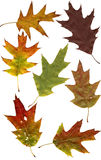 Fogli della quercia di autunno Immagine Stock Libera da Diritti