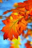 Fogli della quercia di caduta Fotografie Stock