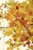 Fogli della quercia gialla Fotografie Stock