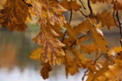 Fogli della quercia gialla Fotografia Stock