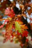 Fogli della quercia nella caduta fotografia stock libera da diritti