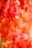 Fogli della quercia rossa Fotografie Stock