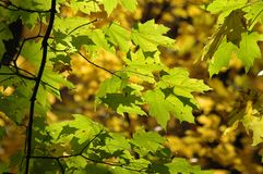 Fogli della quercia rossa che girano gialli Fotografia Stock Libera da Diritti