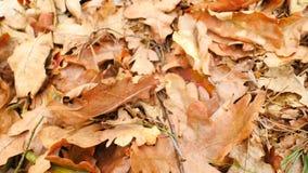 Fogli della quercia Terra del parco di autunno con tappeto delle foglie arancio asciutte della quercia, dei ramoscelli tagliati e archivi video